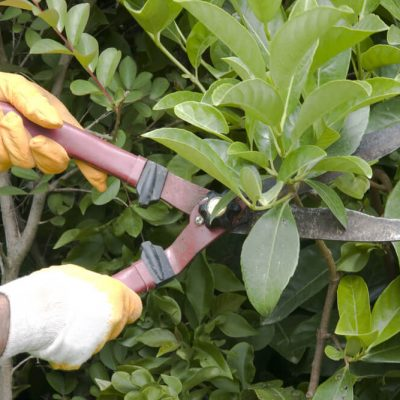 clippers-pruning